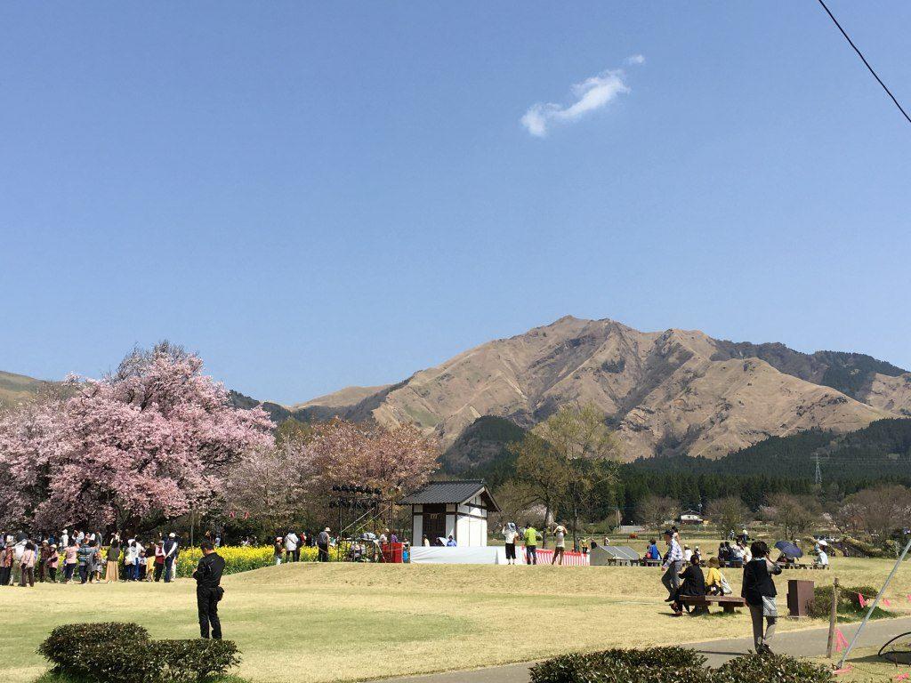 少し離れた場所からの一心行の大桜の写真